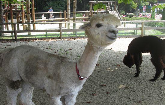 IMG 0524 【旅行】那須りんどう湖ファミリー牧場でアルパカを見る【那須】