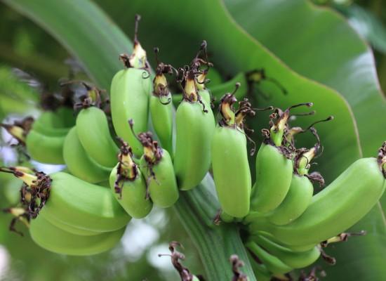 Banana / Musa acuminata cv. Dwarf Cavendish / 三尺甘蕉(さんじゃくばなな)